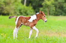 Brown And White Foal Walking I...