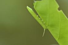 Macro Caterpillar Leaves