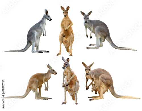 Deurstickers Kangoeroe kangaroo isolated