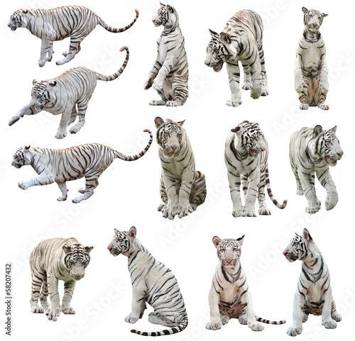 In de dag Tijger white bengal tiger isolated