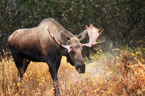 Moose Bull blowing some Steam, Male, Alaska, USA Poster