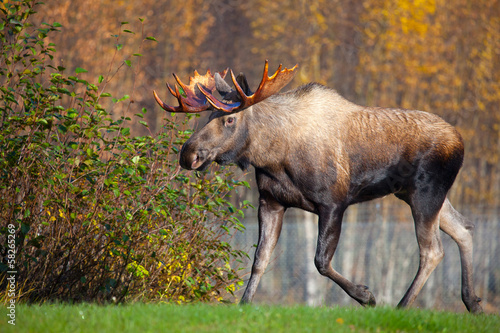Photo  Moose Bull Walking, Male, Alaska, USA