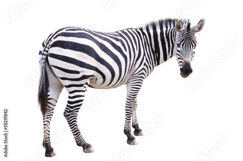 Photo sur Aluminium Zebra Zèbre zebra