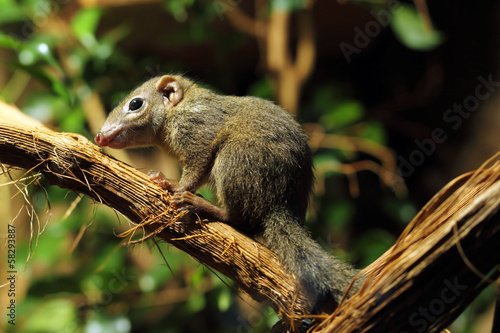 Fotografie, Obraz  tree shrew