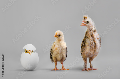 Stampa su Tela chick and egg