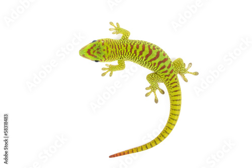 Fotomural Madagascar day gecko on white background.