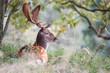 fallow deer during the the rutting season