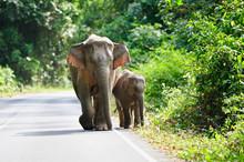 Asian Elephant In Khao Yai Nat...