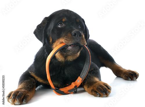 Photo  puppy rottweiler