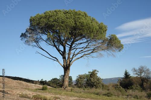Fotografia  Pin d'Alep , Pinus halepensis