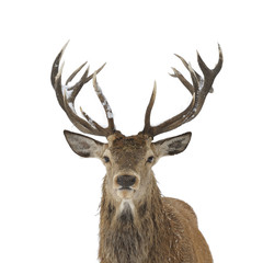 Fototapeta Red deer portrait