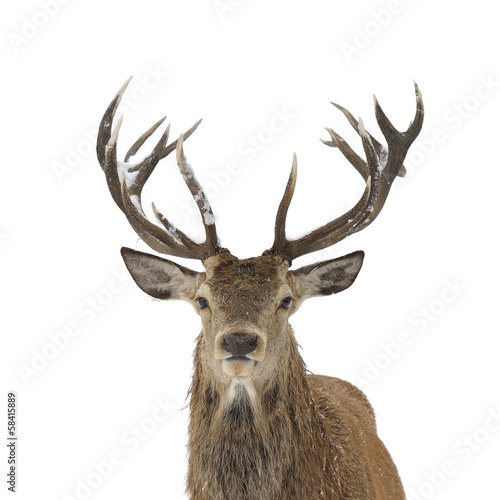 Fotobehang Hert Red deer portrait