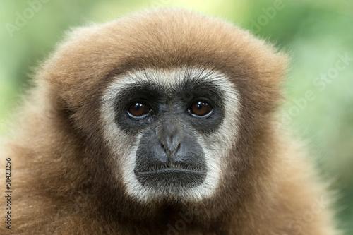 Canvas-taulu gibbon