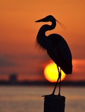 Heron And Setting Sun