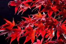Japanese Maple Tree  (Acer Palmatum) On Black