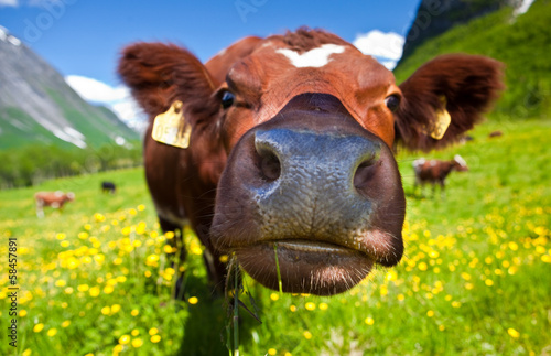 Deurstickers Koe Norwegian cow