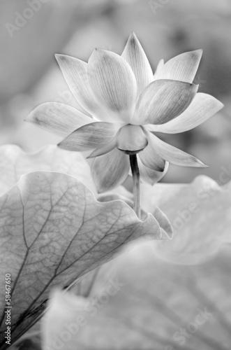 czarno-bialy-lotos