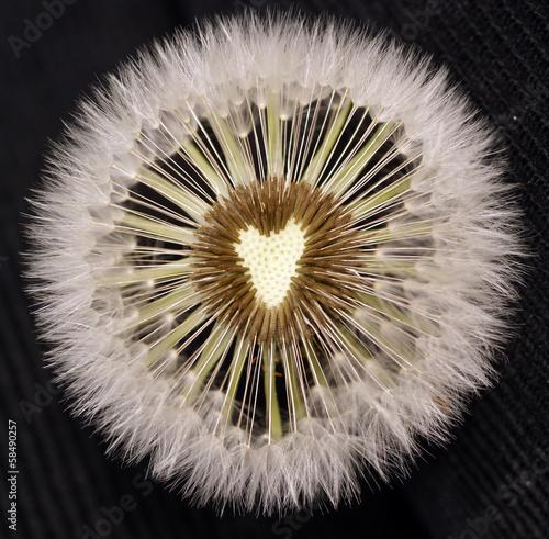 Fototapeta sow-thistle weeds