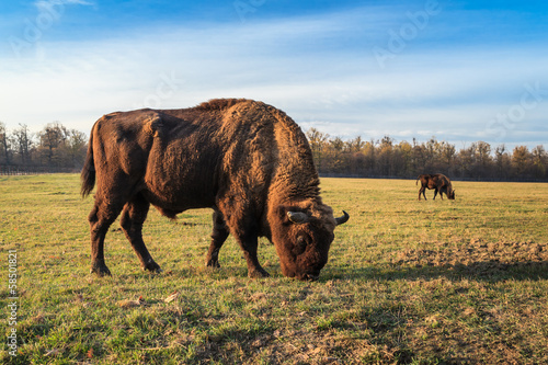 Vászonkép aurochs