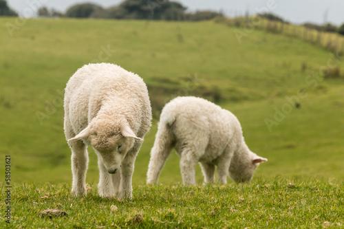 Foto op Canvas Schapen two lambs on green meadow