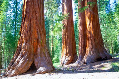 Poster Parc Naturel Sequoias in Mariposa grove at Yosemite National Park