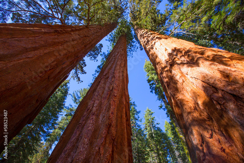 Poster Parc Naturel Sequoias in California view from below