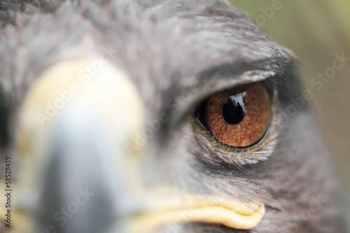 In de dag Eagle Steppe Eagle