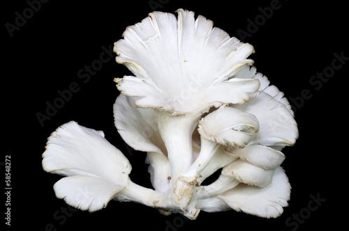 Fototapety, obrazy: Oyster mushrooms