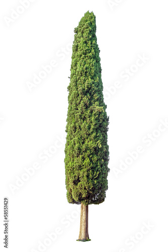 Fotografiet  Cypress isolated on white background