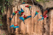 Macaws In Clay Lick In The Per...