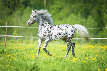 FototapetaAppaloosa horse runs trot on the meadow in summer time
