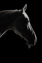 White Horse Silhouette In The Darkness
