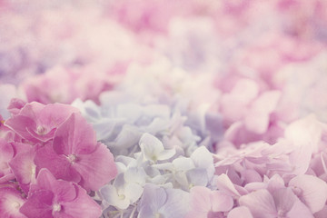 Fototapeta Pink hydrangea flowers