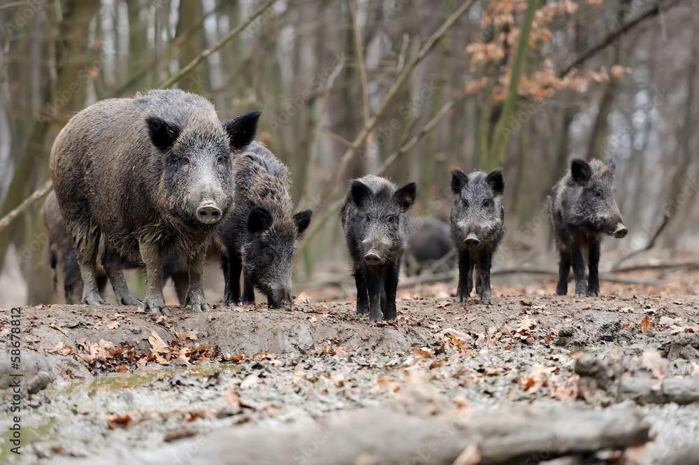 Fototapeta Wild boar