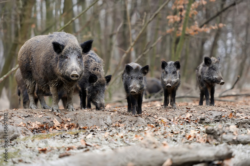 Obraz Wild boar - fototapety do salonu