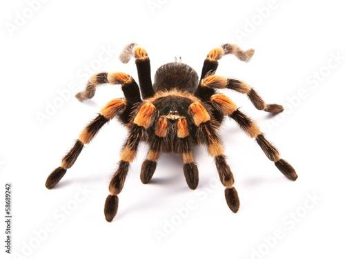 Fototapeta Mexické redknee tarantule (Brachypelma smithi), pavouk ženského