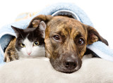 sad dog and cat lying on a pillow under a blanket. isolated