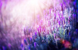 Lavender Flowers Field. Growing and Blooming Lavender - 58716262
