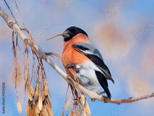 Fotografiet Bullfinch on branch of maple