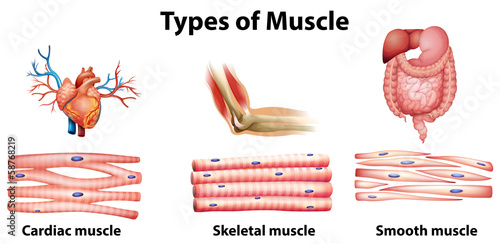Fototapeta Types of muscle obraz