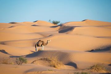 Panel SzklanyDromadaire dans les dunes du Sahara - Tunisie