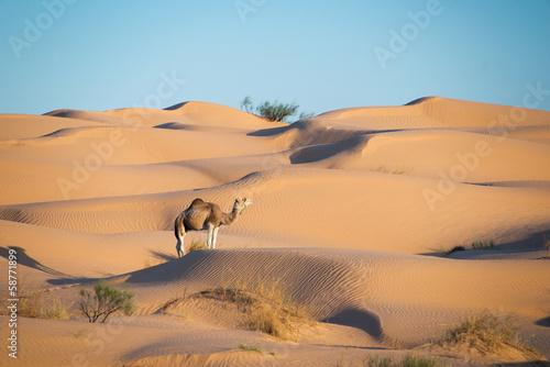 Dromadaire dans les dunes du Sahara - Tunisie - 58771899