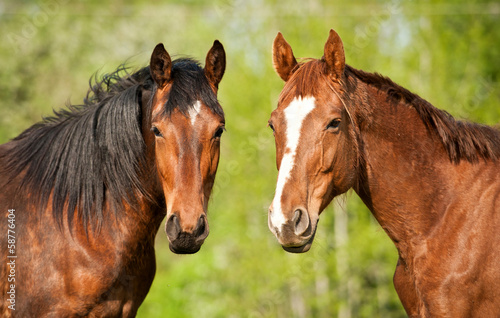 Portrait of two horses in summer