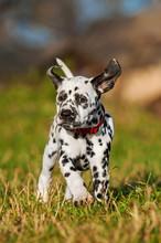 Dalmatian Puppy Running In The Yard