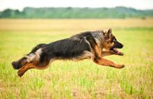 German Shepherd Dog Running Wi...