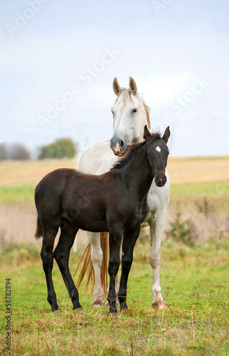 Photo  White mare with black foal standing on pasture in autumn
