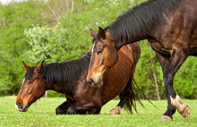 Two Horses Lying Down At Field...