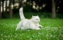 British Shorthair Cat Running ...