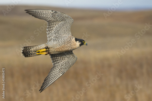 Photo  Peregrine Falcon