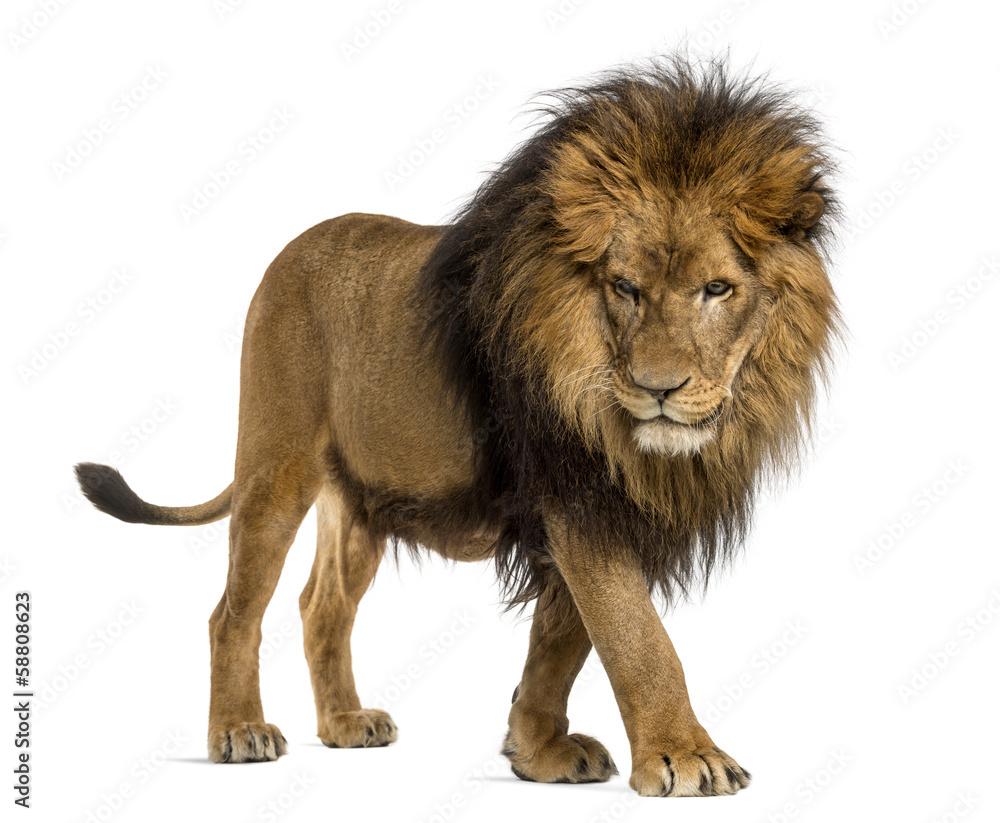 Fototapeta Side view of a Lion walking, looking down, Panthera Leo